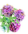 Watercolor Image Of Hydrongea Flowers - PhotoDune Item for Sale