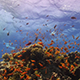 Colorful Fish on Vibrant Coral Reef 950 - VideoHive Item for Sale