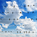flock of swallows on blue sky background - PhotoDune Item for Sale