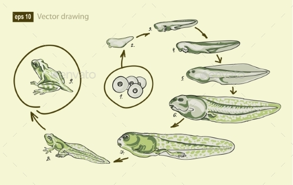 GraphicRiver Vector Illustration of the Life Cycle of a Frog 8952043