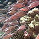 Shoal of Stripped Fish on Coral Reef 957 - VideoHive Item for Sale