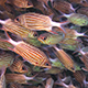 Shoal of Stripped Fish on Coral Reef 959 - VideoHive Item for Sale