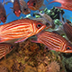 Shoal of Stripped Fish on Coral Reef 960 - VideoHive Item for Sale