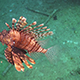 African lionfish on Coral Reef 965 - VideoHive Item for Sale