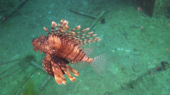 African lionfish on Coral Reef 965