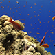 Colorful Fish on Vibrant Coral Reef 971 - VideoHive Item for Sale