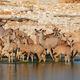 Kudu antelopes drinking - PhotoDune Item for Sale