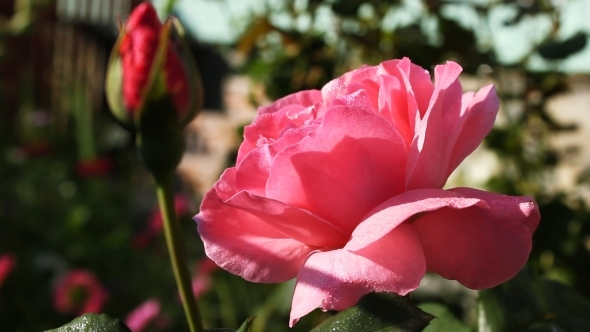 Pink Roses In The Sun 3