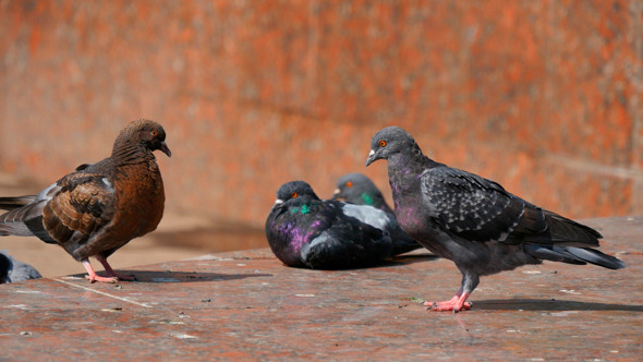 Pigeons In The City 2