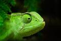 Green chameleon - PhotoDune Item for Sale