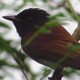 Japanese Paradise Flycatcher - VideoHive Item for Sale