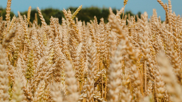 Wheat Swinging In The Wind