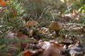 Mushrooms Hygrophorus Dichrous - Setas Hygrophorus Dichrous - PhotoDune Item for Sale