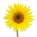 Bright yellow sunflowers - PhotoDune Item for Sale
