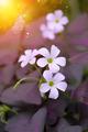 False Shamrock Plant. (Oxalis triangularis.) - PhotoDune Item for Sale