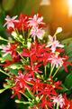 Rangoon creeper flower on tree. - PhotoDune Item for Sale