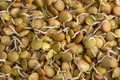 Lentils sprouted - PhotoDune Item for Sale