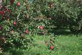 Apple Tree - PhotoDune Item for Sale