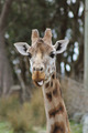 Giraffe Poking out its Tongue - PhotoDune Item for Sale