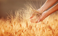 Woman hands touching golden wheat field - PhotoDune Item for Sale