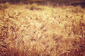Beautiful wheat field background - PhotoDune Item for Sale