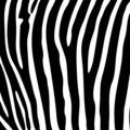 Zebra background - PhotoDune Item for Sale