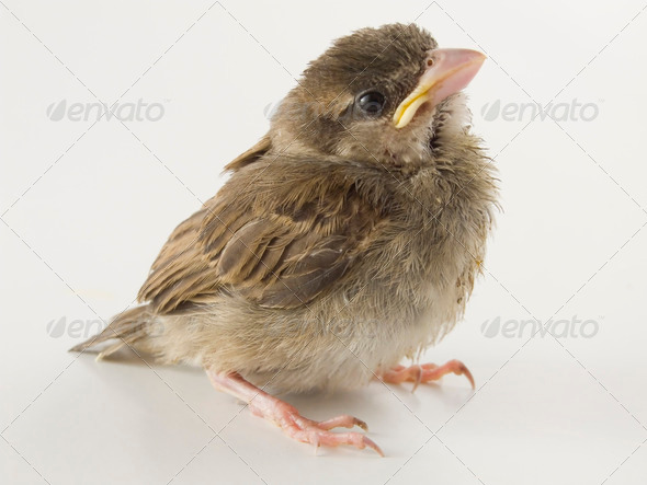 Sparrow - Stock Photo - Images