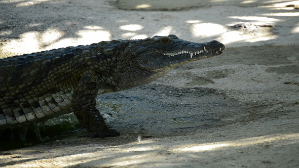 Crocodile or Alligator out of the River