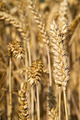 Golden ears of wheat on the field. - PhotoDune Item for Sale