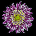 Purple Chrysanthemum Flower Isolated on White - PhotoDune Item for Sale