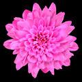Pink Chrysanthemum Flower Isolated over Black - PhotoDune Item for Sale