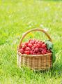 Basket full of ripe raspberry on green grass - PhotoDune Item for Sale