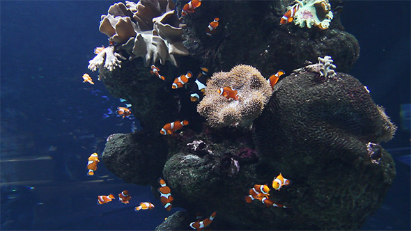 Clown Fishes in Aquarium