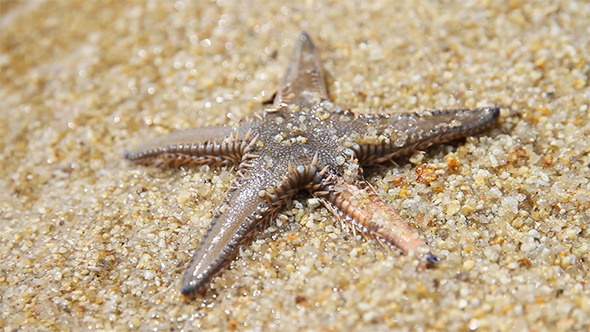Live Starfish in Sand Beach