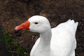 White Duck - PhotoDune Item for Sale