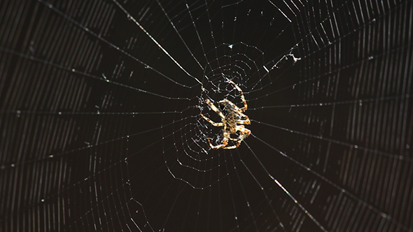 Spider in the Centre of His Web
