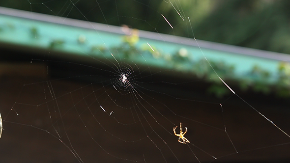 Spider Building A Web x3 speed