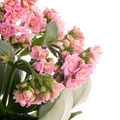 Kalanchoe Calandiva flowers - PhotoDune Item for Sale