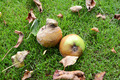 Rotting, mouldy windfall apples - PhotoDune Item for Sale