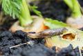 Slug eats carrots in the garden - PhotoDune Item for Sale