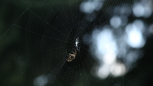 Close-up of Spider Finishing His Web