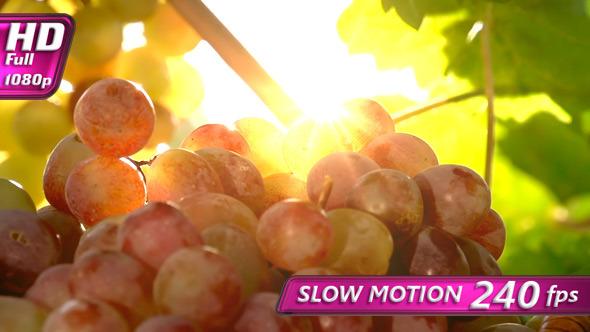 Grape Harvest Season