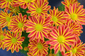 Red and yellow chrysanthemums - PhotoDune Item for Sale