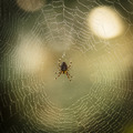 Spider on the web - PhotoDune Item for Sale