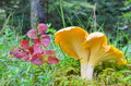 Chanterelle and red leaves - PhotoDune Item for Sale