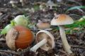 Pholiota highlandensis - PhotoDune Item for Sale