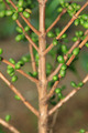 Coffee beans on plant - PhotoDune Item for Sale