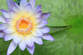 Close up of water-lily - PhotoDune Item for Sale