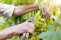Winemaker man picking grapes - PhotoDune Item for Sale