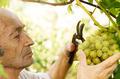 Senior farmer at vineyard - PhotoDune Item for Sale